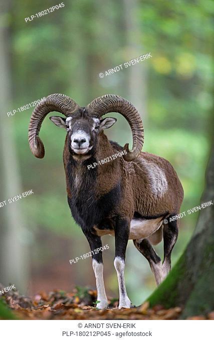 European mouflon (Ovis gmelini musimon / Ovis ammon / Ovis orientalis musimon) ram with big horns in forest in autumn