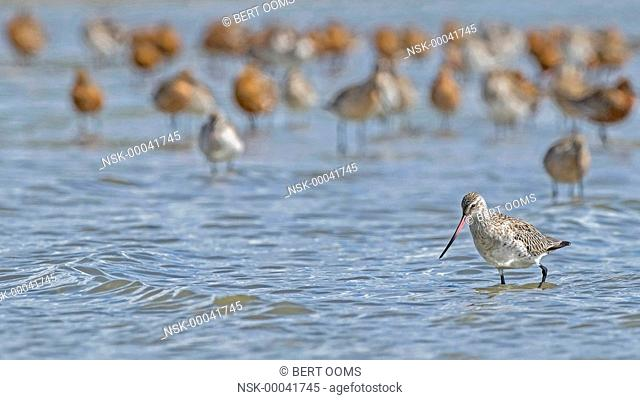 Bar-tailed Godwit (Limosa lapponica) in winter plumage wading in front of group in mixed plumage, breeding and non breeding