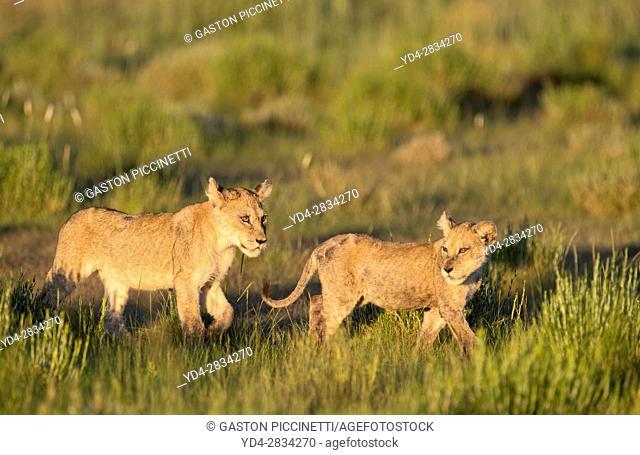 African lion (Panthera leo) - Cubs, in the bush, Kgalagadi Transfrontier Park, Kalahari desert, South Africa/Botswana