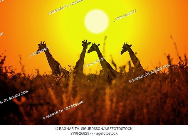 Giraffes at sunset, Etosha National Park, Namibia, Africa
