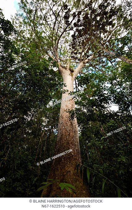 Le Grand Kaori the largest and oldest known kauri pine tree, Parc de la Riviere-Bleue Blue River Provincial Park, Grande Terre, New Caledonia