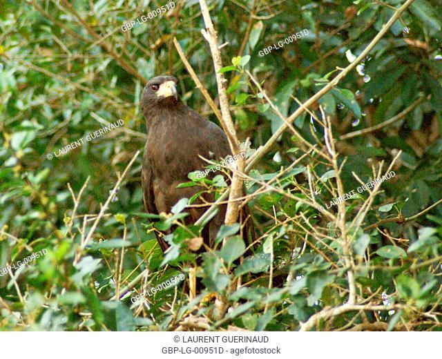 Black hawk, Great Black Hawk, Buteogallus urubitinga, Pantanal, Mato Grosso do Sul, Brazil