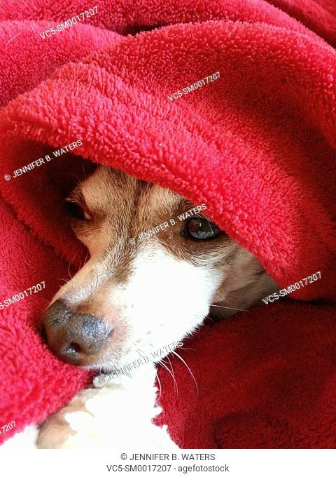 Close-up of a male chihuahua in a red blanket