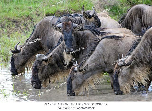 Blue Wildebeest (Connochaetes taurinus) herd drinking, one looking at camera, Serengeti national park, Tanzania