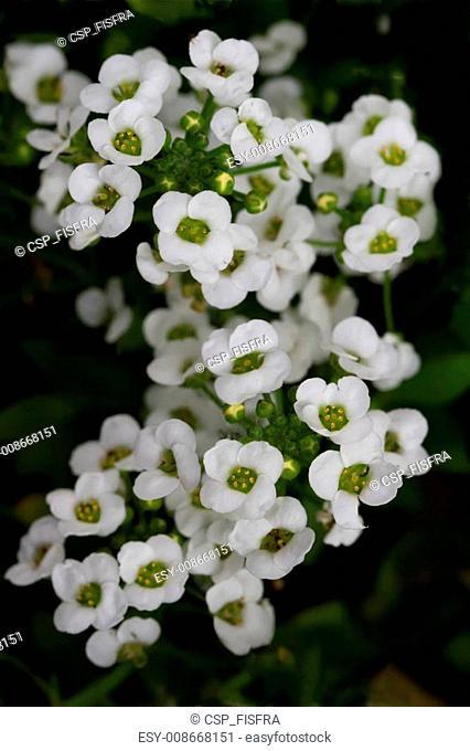 Sweet Alyssum (Lobularia maritima)