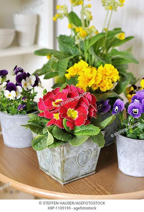 Primrose Primula vulgaris syn  Primula acaulis and horned pansies Viola cornuta
