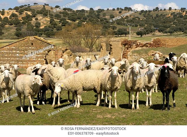 Flock of Castellana sheep, province of Salamanca, Castilla y Leon, Spain