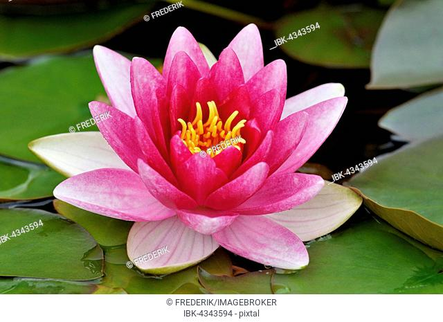 Pink water lily (Nymphaea), North Rhine-Westphalia, Germany