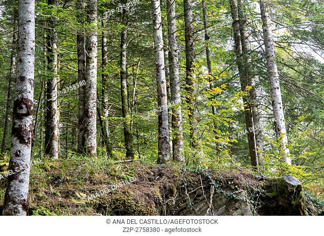 Autumn forest Selva de Irati fall beech jungle in Navarra Pyrenees of Spain