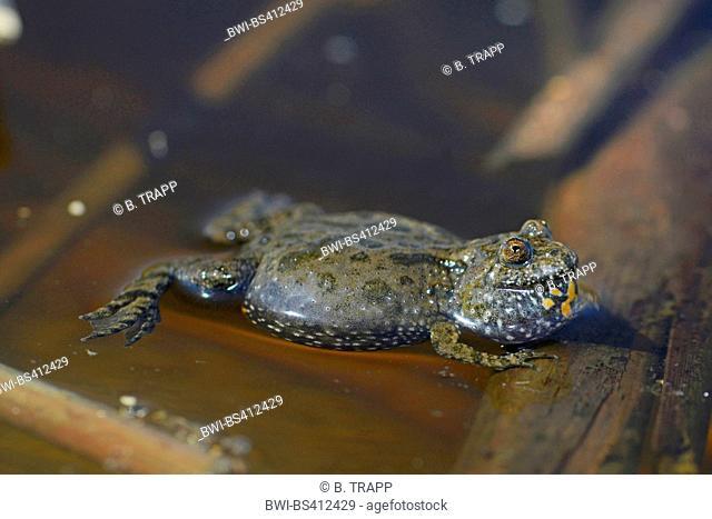 fire-bellied toad (Bombina bombina), calling toad on water surface, Romania, Moldau, Iași