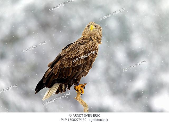 White-tailed Eagle / Sea Eagle / Erne (Haliaeetus albicilla) perched in tree in the snow in winter