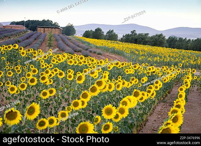 Field of sunflowers and lavender El Pobo Teruel Aragon Spain