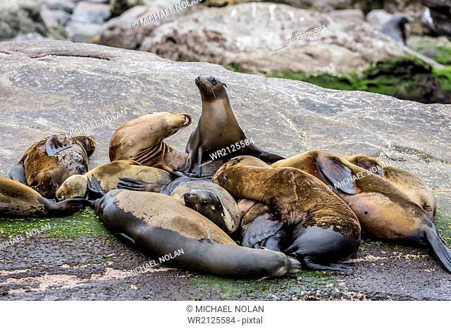 California sea lions (Zalophus californianus) hauled out on Isla San Pedro Martir, Baja California, Mexico, North America