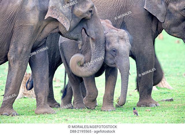 Asia, India, Karnataka, Nagarhole national park, Tiger reserve of Kabini, Asian or Asiatic elephant (Elephas maximus)
