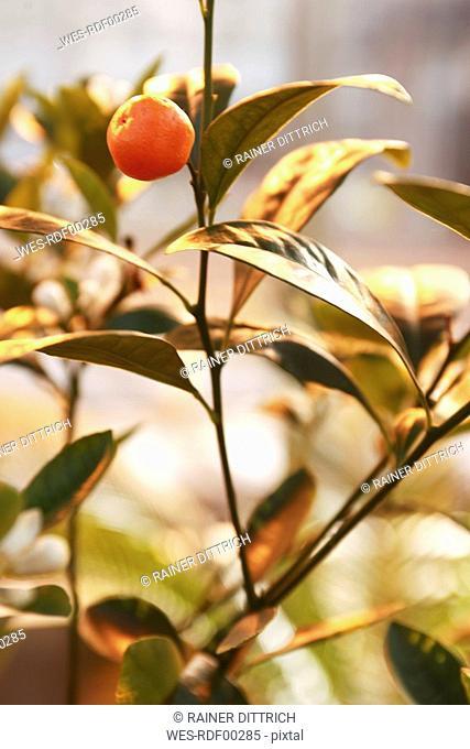 Cumquats Fortunella, close up