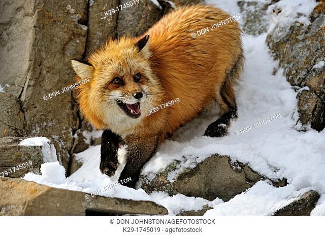 Red fox (Vulpes vulpes), Bozeman, Montana, USA