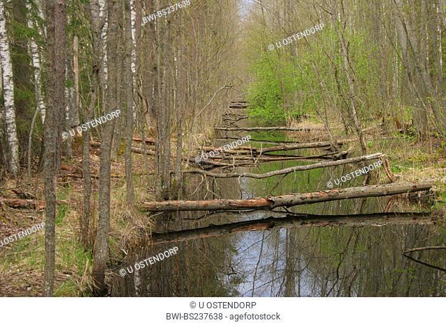 Eurasian beaver, European beaver Castor fiber, beaver feeding damage at a ditch, Estonia, Viljandi maakond, Soomaa National Park