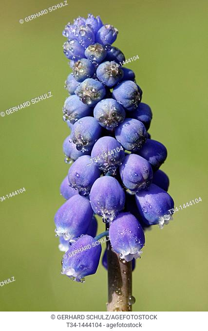 Common Grape Hyacinth, Muscari botryoides, Schleswig-Holstein, Germany