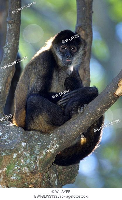 black-headed spider monkey Ateles geoffroyi, hanging at tree