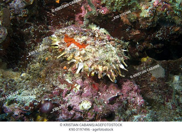 Variable thorny oyster (Spondylus varians), closed, in the middle of an overgrown reef with corals, Indian Ocean, Maldives, South Asia