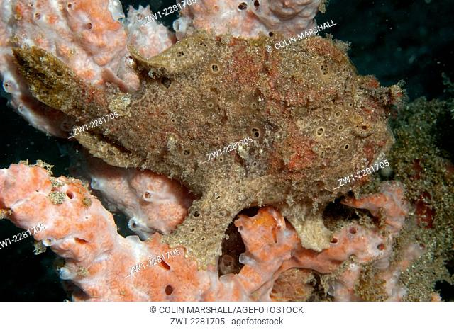 Painted Frogfish (Antennarius pictus) on sponge, Pantai Parigi dive site, Lembeh Straits, Sulawesi, Indonesia