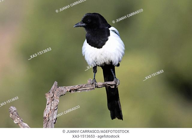 European Magpie, Pica pica, perched on a branch, Valencia, Spain