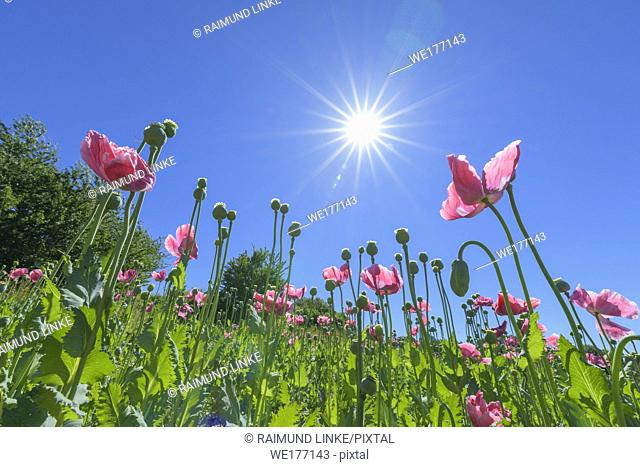 Opium poppy in the morning with sun, Germerode, Werra-Meissner district, Hesse, Germany