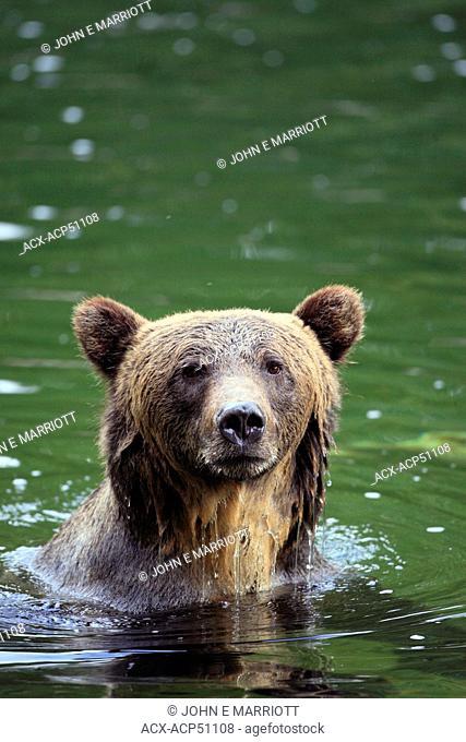 Grizzly bear Ursus arctos horribilis Great Bear Rainforest in British Columbia