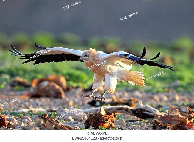 Egyptian vulture (Neophron percnopterus), lands on the ground, Canary Islands, Fuerteventura