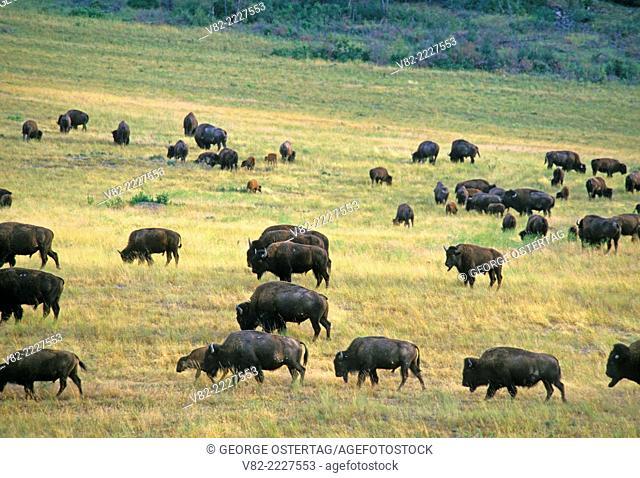 Bison herd, National Bison Range, Montana