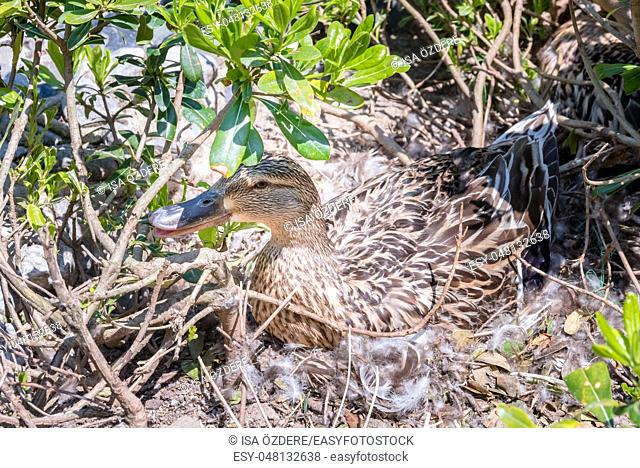 Mother wild duck sits over eggs on the soil in a nest. Duck nest with eggs