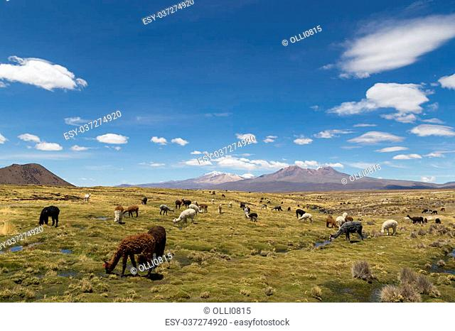 Photograph of a group of lamas and alpacas in Sajama National Park, Bolivia