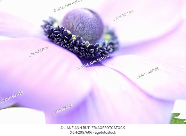 soft and romantic purple anemone flower head close up