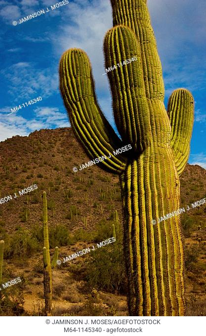 Saguaro cactus in the southern Arizona Desert