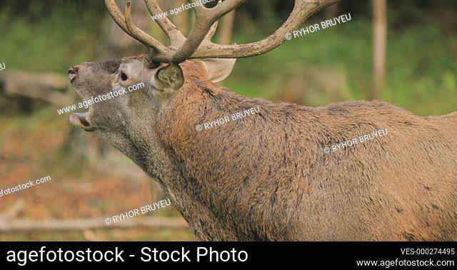 Belarus. Male European Red Deer Or Cervus Elaphus Have A Roar During Rut. Red Deer Inhabits Most Of Europe, Caucasus Mountains Region, Parts Of Asia