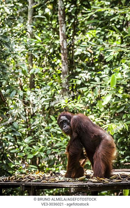A female Orangutan eating in Tanjung Harapan Camp, Tanjung Puting National Park (Central Kalimantan Province, Borneo, Indonesia)