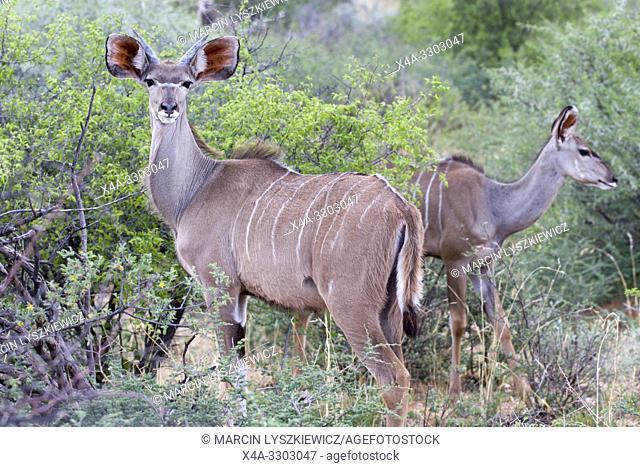 Greater kudu (Tragelaphus strepsiceros), Okonjima Nature Reserve, Namibia