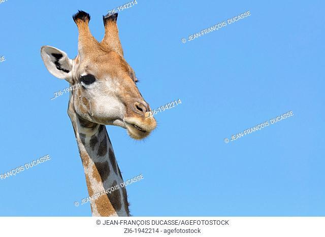 Giraffe, Giraffa camelopardalis, walking, Kgalagadi Transfrontier Park, Northern Cape, South Africa