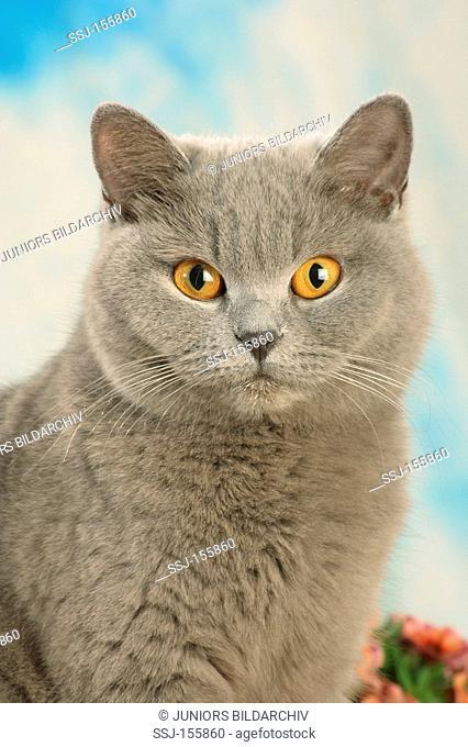 young British Shorthair cat - portrait
