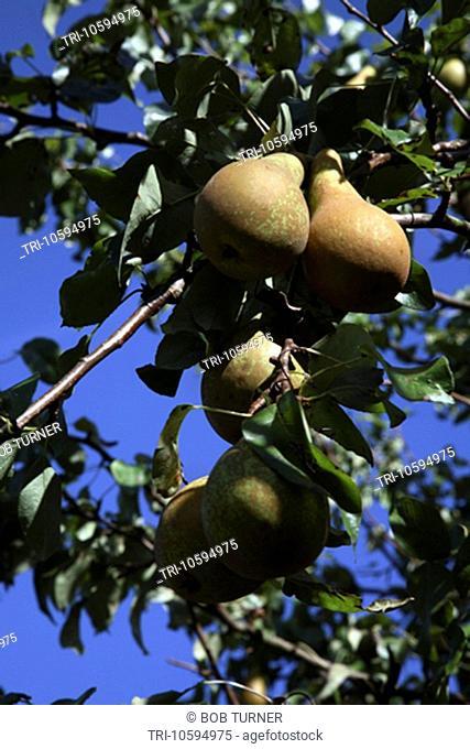 Pears Growing in Garden Surrey England