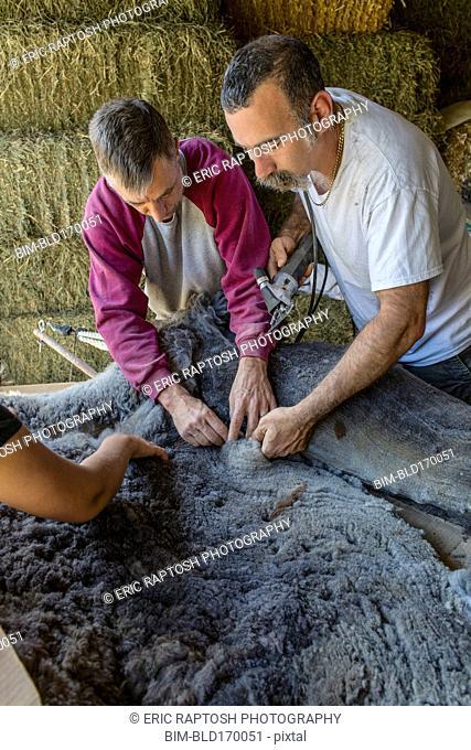 Caucasian farmers shearing alpaca on farm