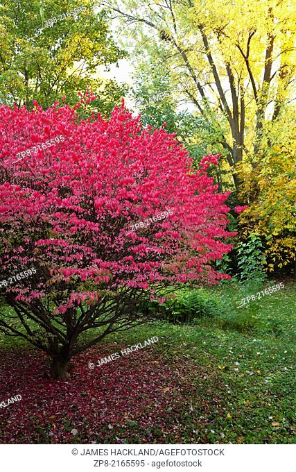 Bright red tree at peak colour in autumn, Oakville, Ontario. Canada