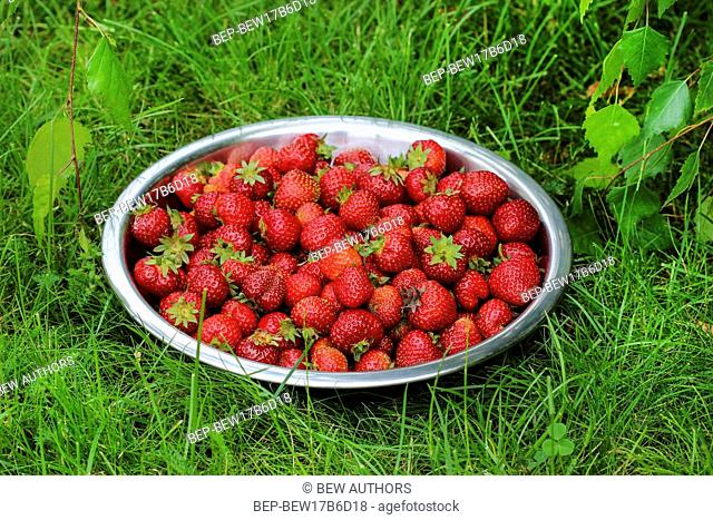 Silver bowl of strawberries on green grass in the garden. Selective focus
