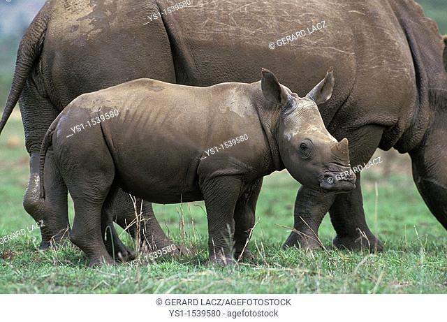 White Rhinoceros, ceratotherium simum, Female with Calf, South Africa