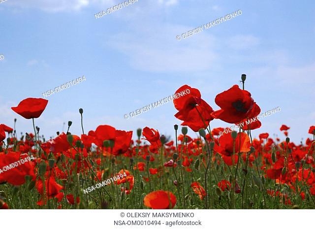 Wild Field Of Poppies