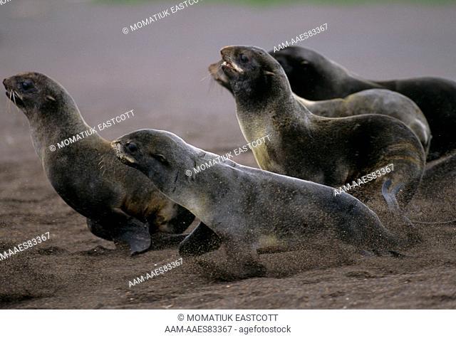 N. Fur Seals fleeing toward Sea (Callorhinus ursinus), St. Paul Is., Pribilofs, Alaska