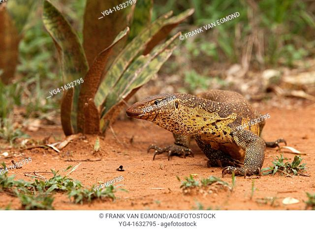 Water Monitor Varanus salvator  After the first major spring rains fell, the water monitors were very active and could be found out in the open  Ndumo Game...