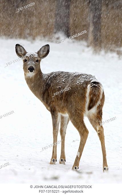 White-tailed deer (Odocoileus virginianus), doe, New York, USA