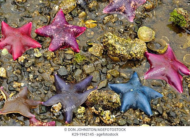 Intertidal invertebrates at low tide on Island Bay- Bat stars (Asterina miniata) , Haida Gwaii (Queen Charlotte Islands) Gwaii Haanas NP, British Columbia