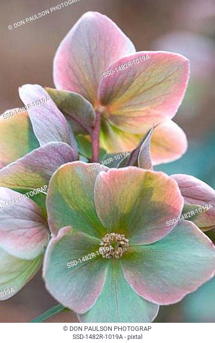 Close-up of hellebore flowers